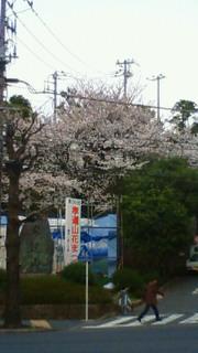 地元の桜の名所なんですけどね