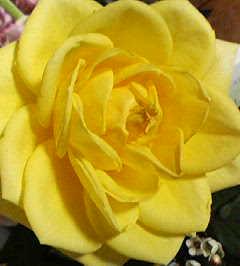 ♪薔薇は薔薇はっ 気高くぅ咲ぁぃ~いてぇ~ ・・・ねね、真ん中辺り、唇みたく見えへん?