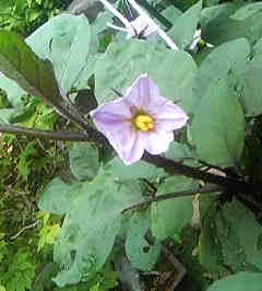 茄子の花@裏庭